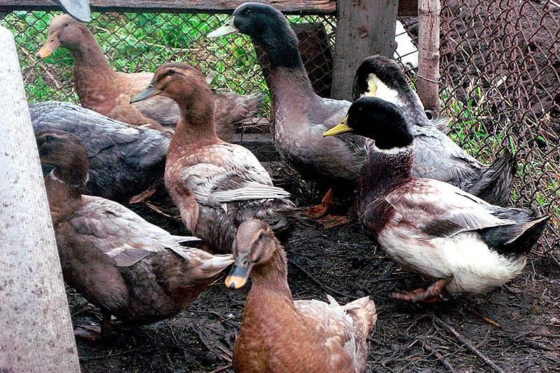 Порода утка фаворит (голубая утка): описание, разведение, кормление