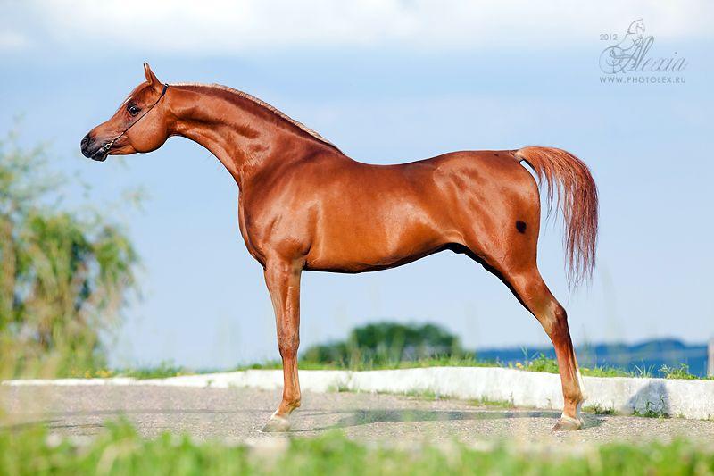 Арабская лошадь: описание породы, уход, разведение