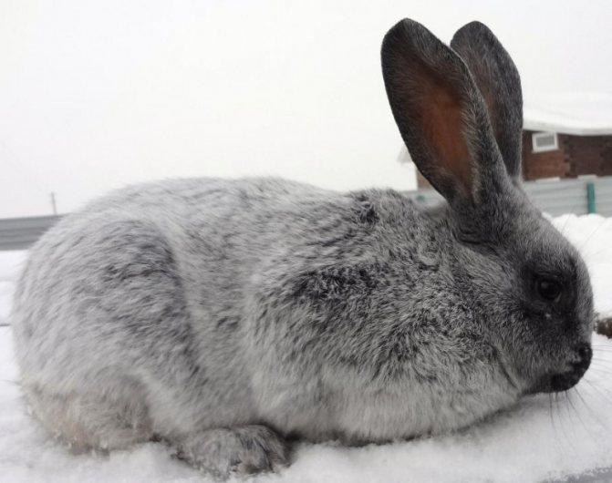 ✅ о кроликах серебро: основные разновидности породы, описание и характеристики - tehnomir32.ru