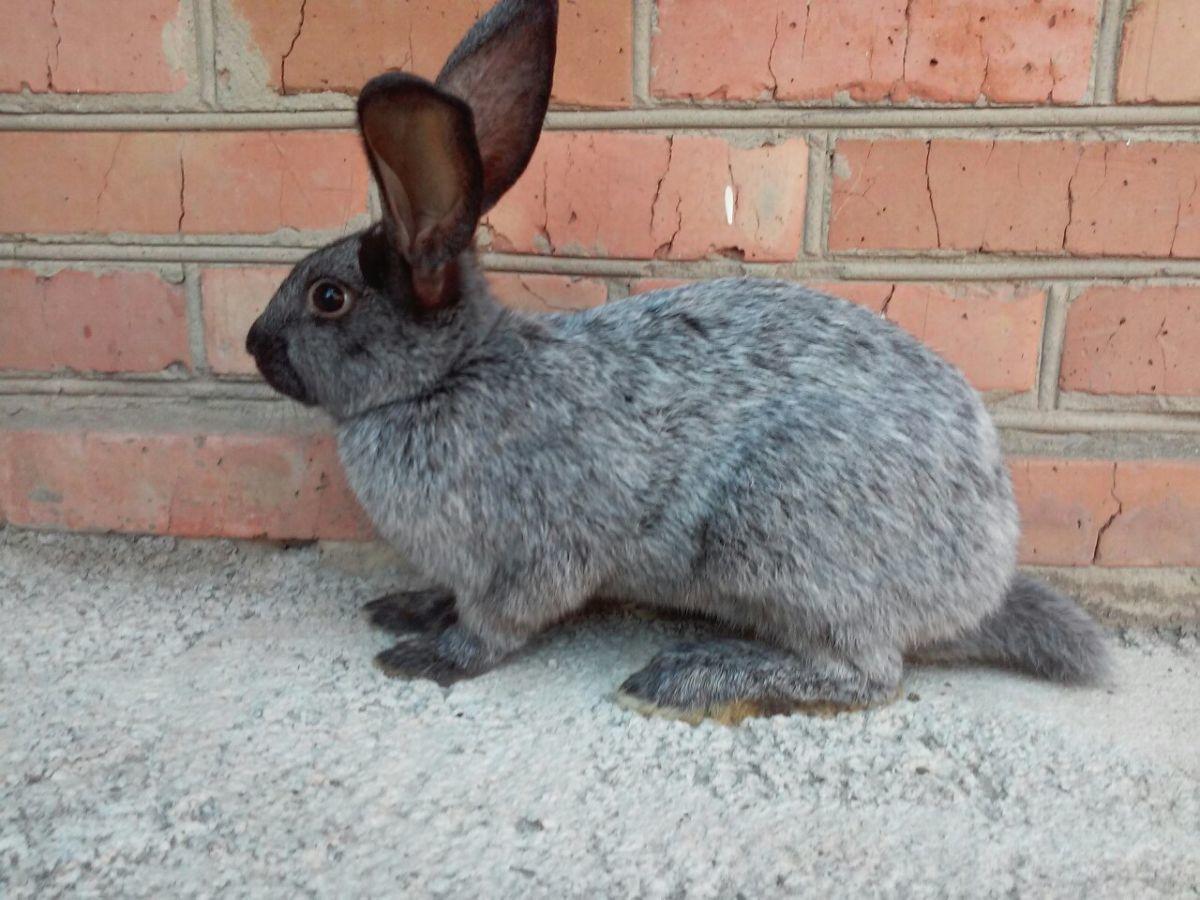 Кролик серебристый: описание породы, содержание, фото