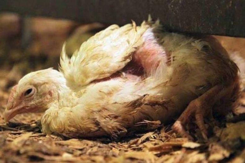 Болезнь ньюкасла - симптомы и лечение у цыплят-бройлеров и кур
