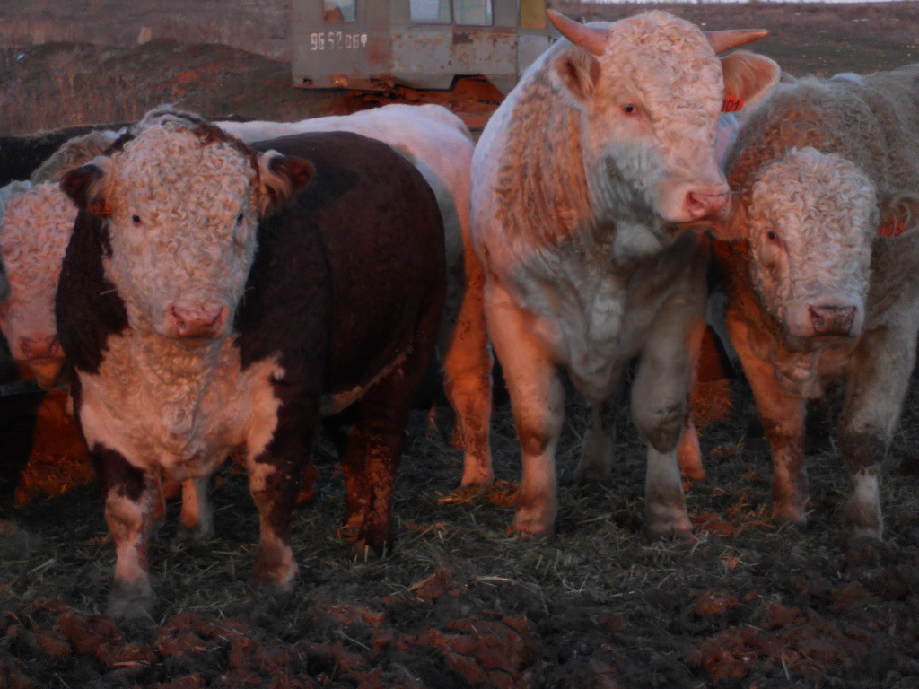Выращивание и откорм бычков на мясо в домашних условиях