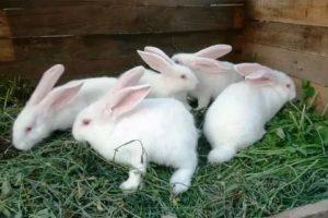 Кролики великаны: породы, содержание, описание и фото