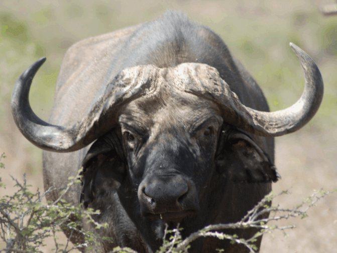 Мясо буйвола или буйволятина как продукт питания
