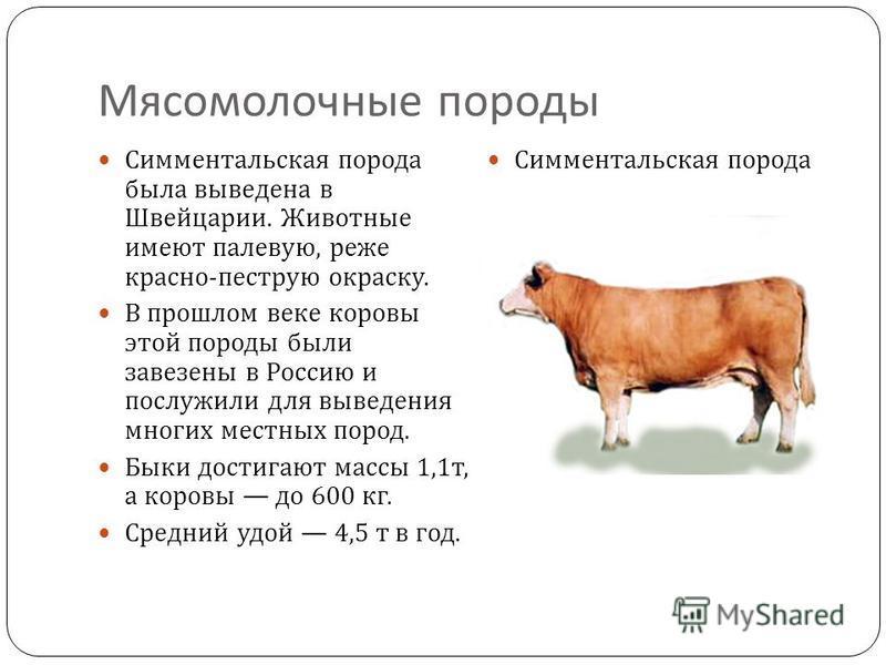 Симментальская порода коров: описание породы, уход и содержание