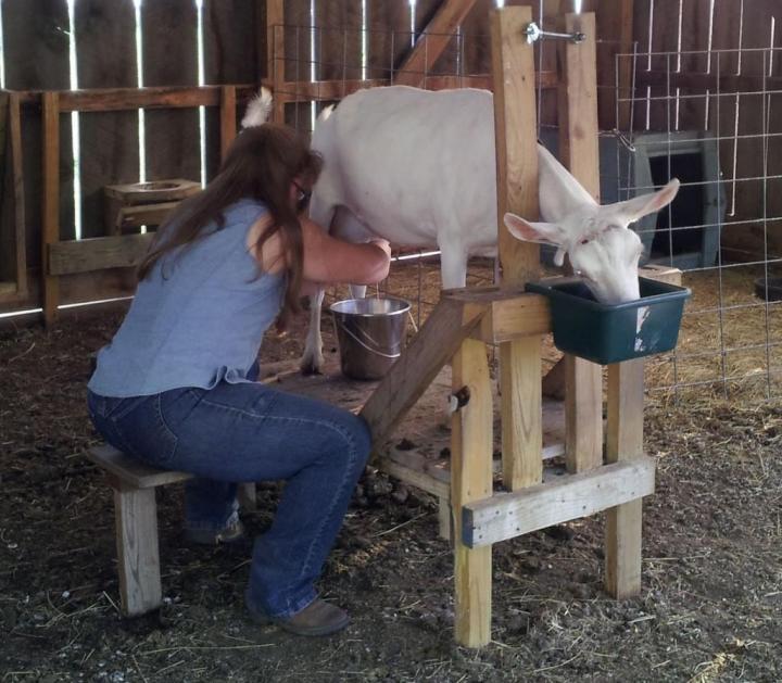 Как правильно содержать козу начинающим фермерам