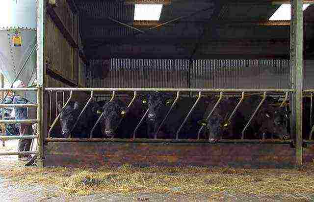 Разведение бычков на мясо как бизнес