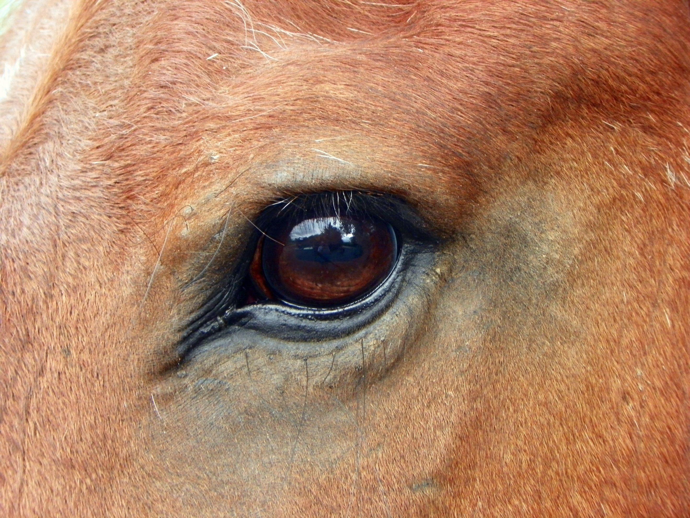 ✅ о глазах лошади: как видят кони, зачем лошадям шоры, строения глаза и зрение - tehnomir32.ru