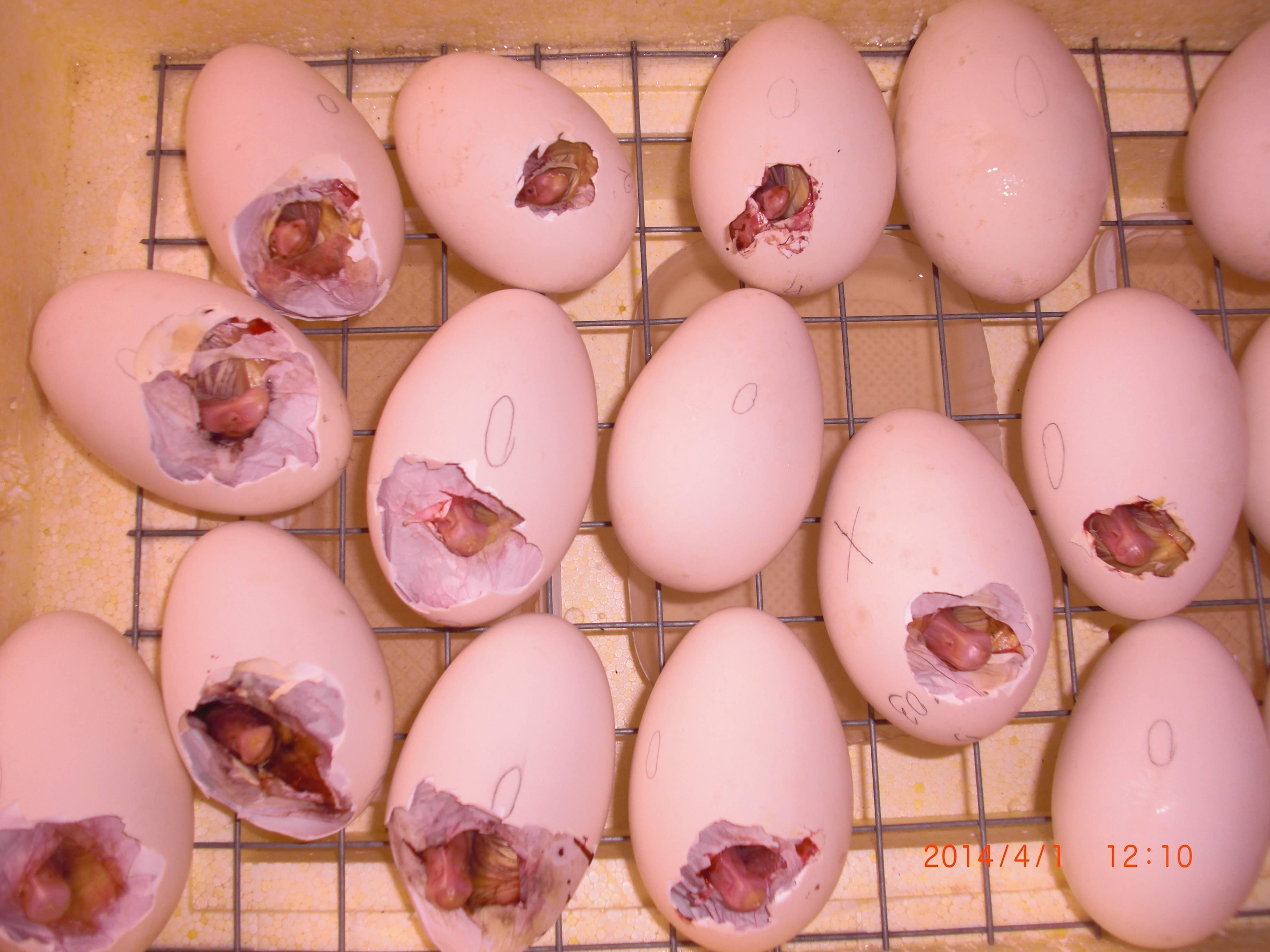 Вылупление цыплят из яиц: что делать, описание процесса, видео