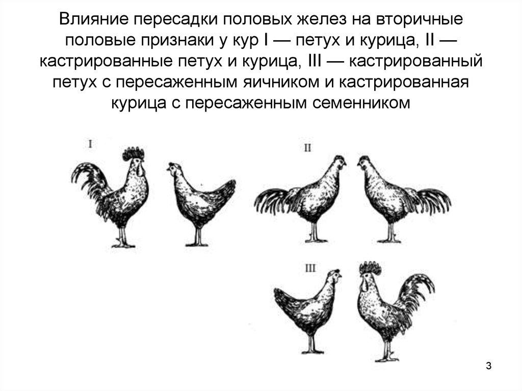 Как определить возраст курицы: несушки, молодки, ломан браун, леггорн и другие породы с фото и видео материалами