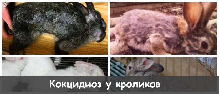 Все о кокцидиозе у кроликов: признаки болезни, лечение и профилактика