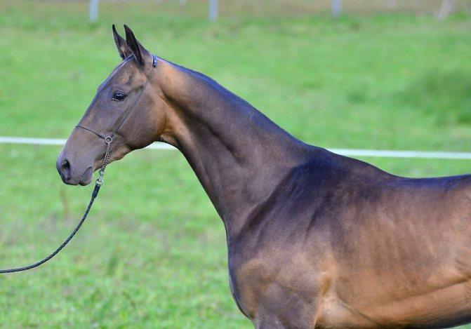 Ахалтекинская порода лошадей: экстреьер, масти, содержание и уход