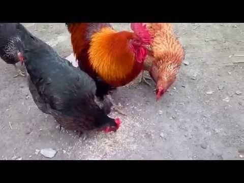 Могут ли куры без петуха нести яйца?