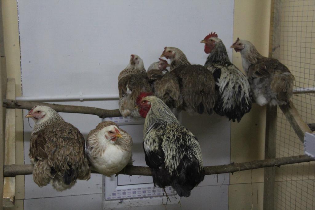 Юрловская голосистая порода кур – описание, содержание, фото и видео