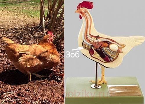 Что делать, если курица не может снести яйцо? причины затрудненной яйцекладки и способы помочь птице