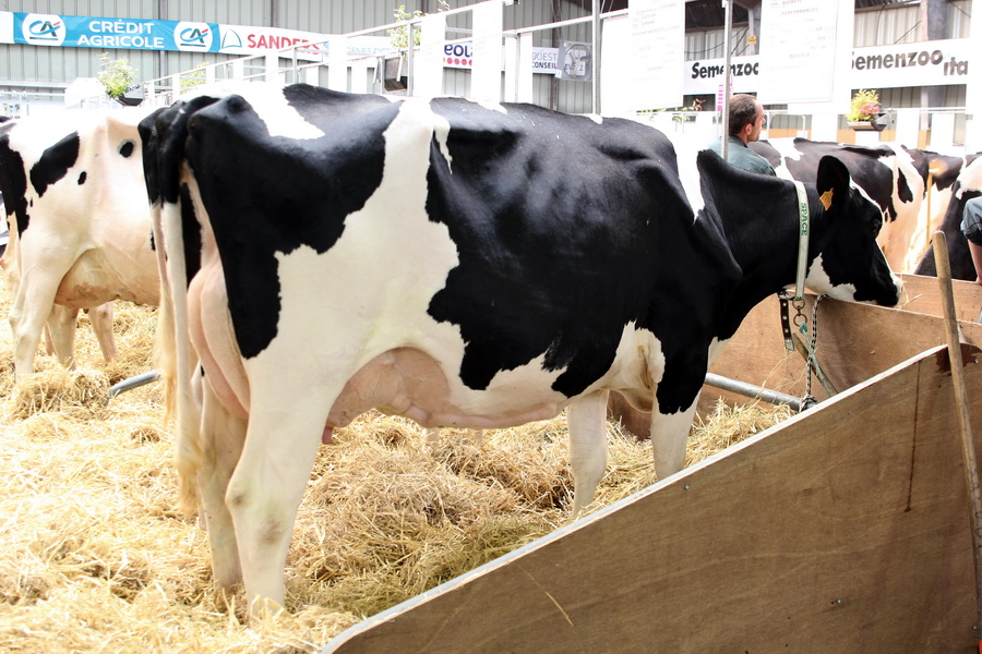 Казахская белоголовая порода коров: описание и характеристика