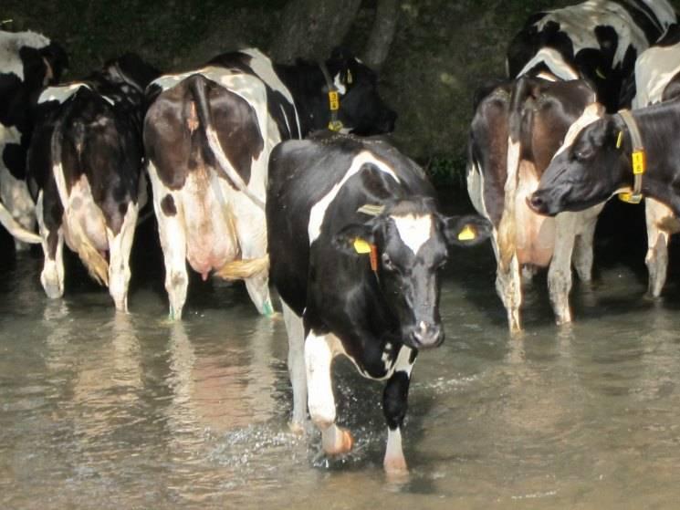 Бельгийская голубая корова: описание породы с фото, особенности ухода и разведения