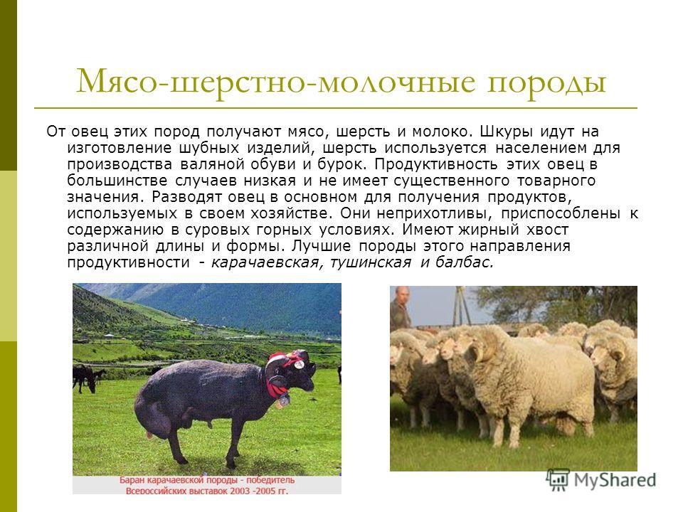 О породах овец: молочное и мясное направление, характеристики, племенные