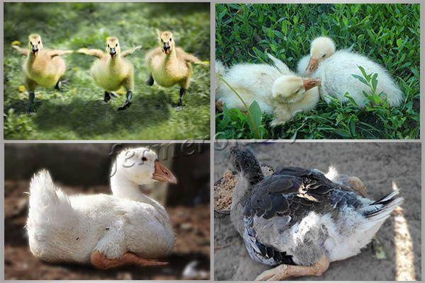 Почему утки садятся на ноги, и как лечить