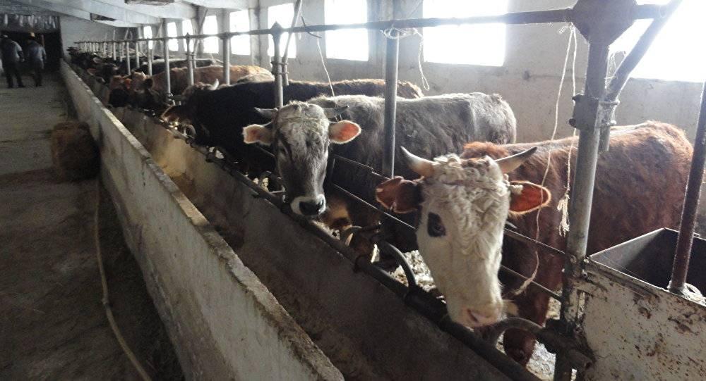 Как откормить бычка в домашних условиях: рацион кормления