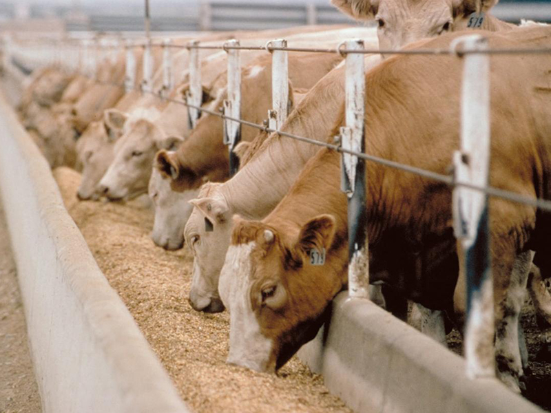 Содержание коров: разведение и советы как преуспеть в фермерском бизнесе