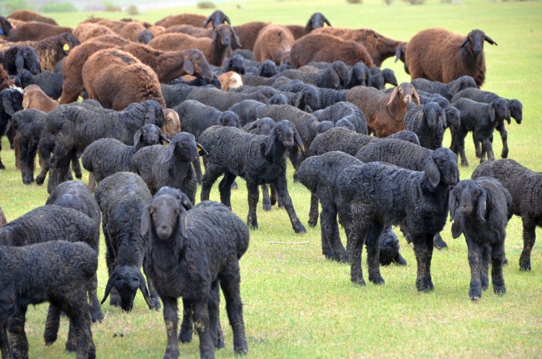 Характеристики гиссарской породы овец и их рекомендации