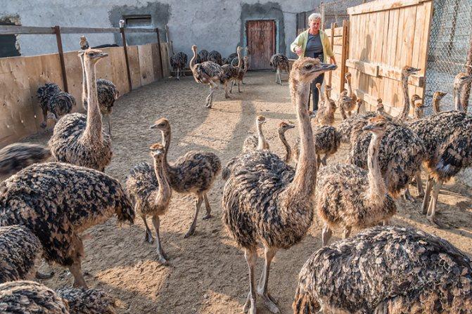 Разведение страусов в домашних условиях с нуля
