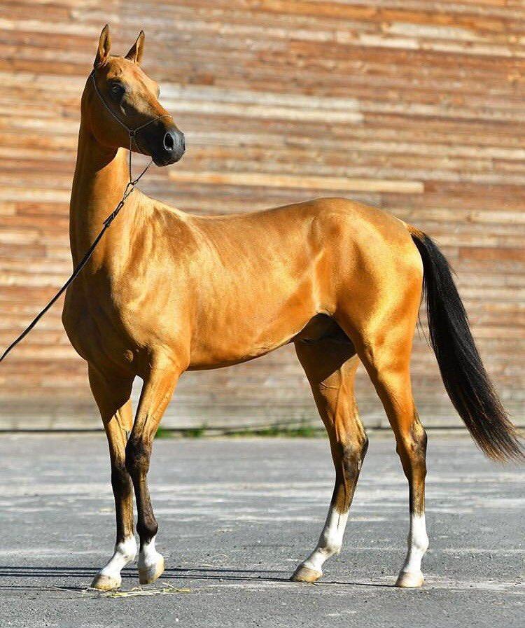 Ахалтекинская лошадь: описание породы, характеристика, особенности