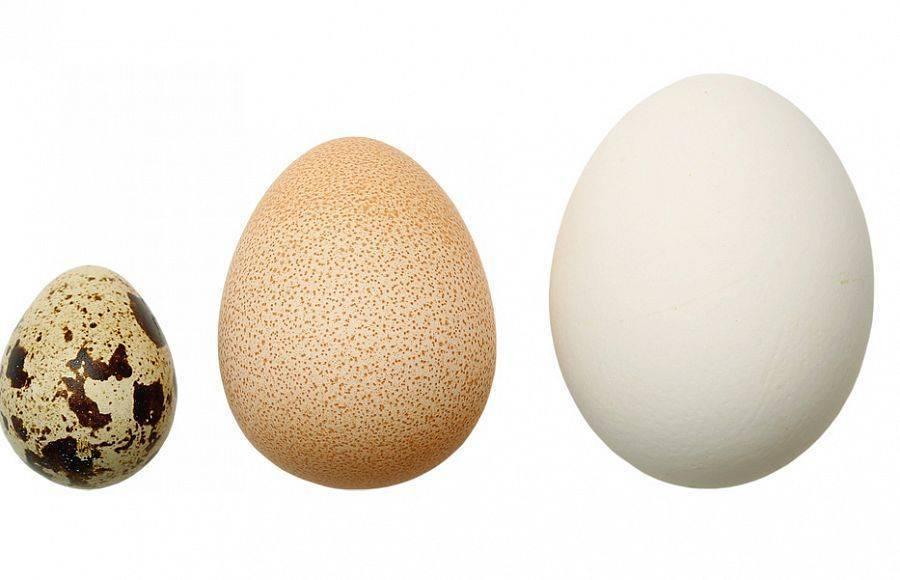 Яйца цесарки: польза и вред, фото, как выглядят