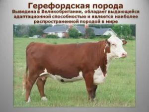 Холмогорская порода коров: [описание породы, фото, уход, преимущества и недостатки]