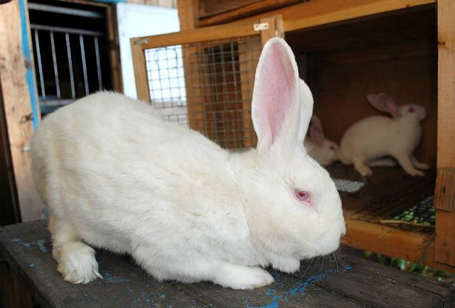 Кролики великаны: породы, разведение, выращивание, кормление
