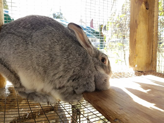 Кролики породы шиншилла: преимущества и недостатки разведения