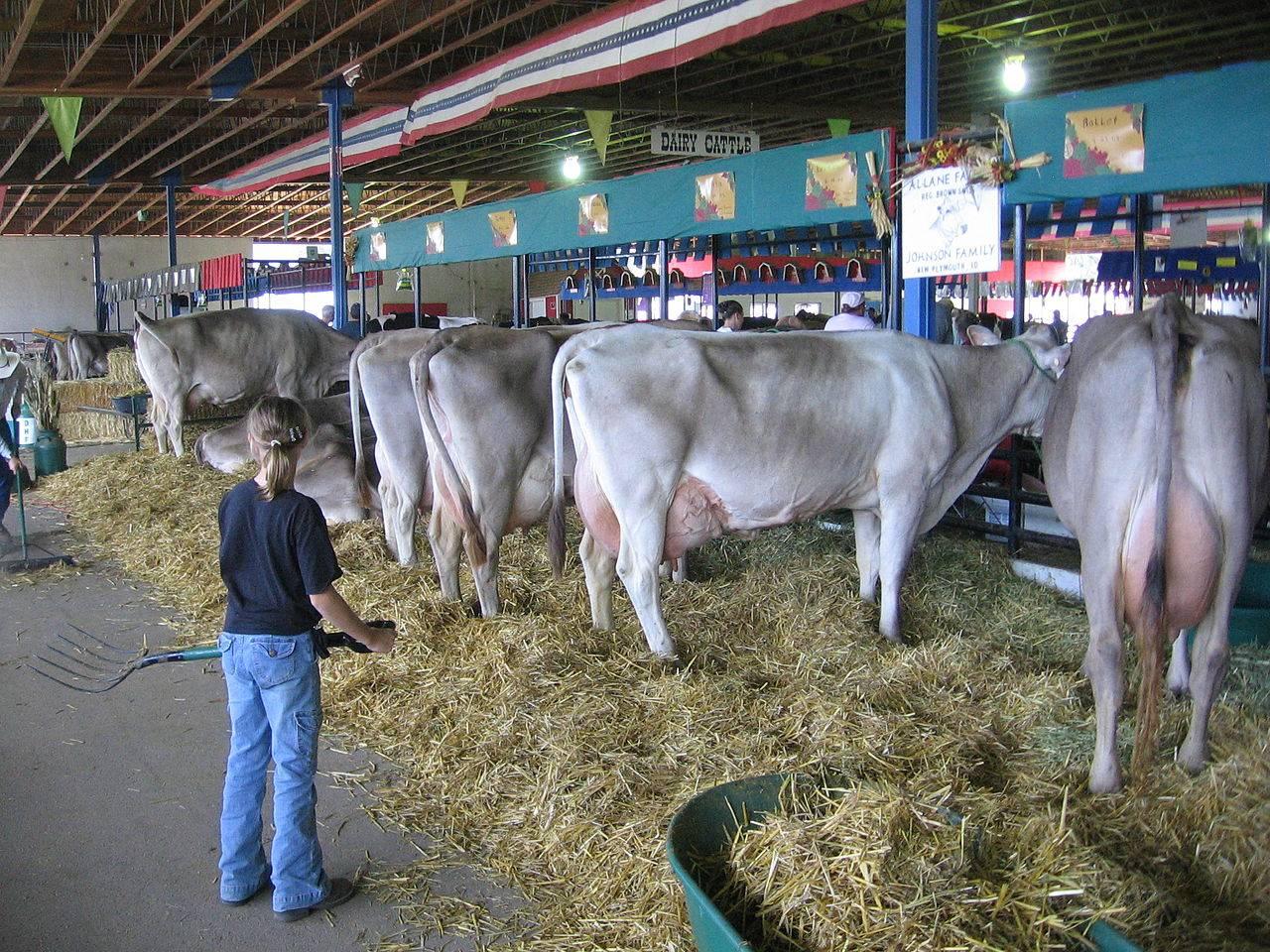 Характеристика коров швицкой породы