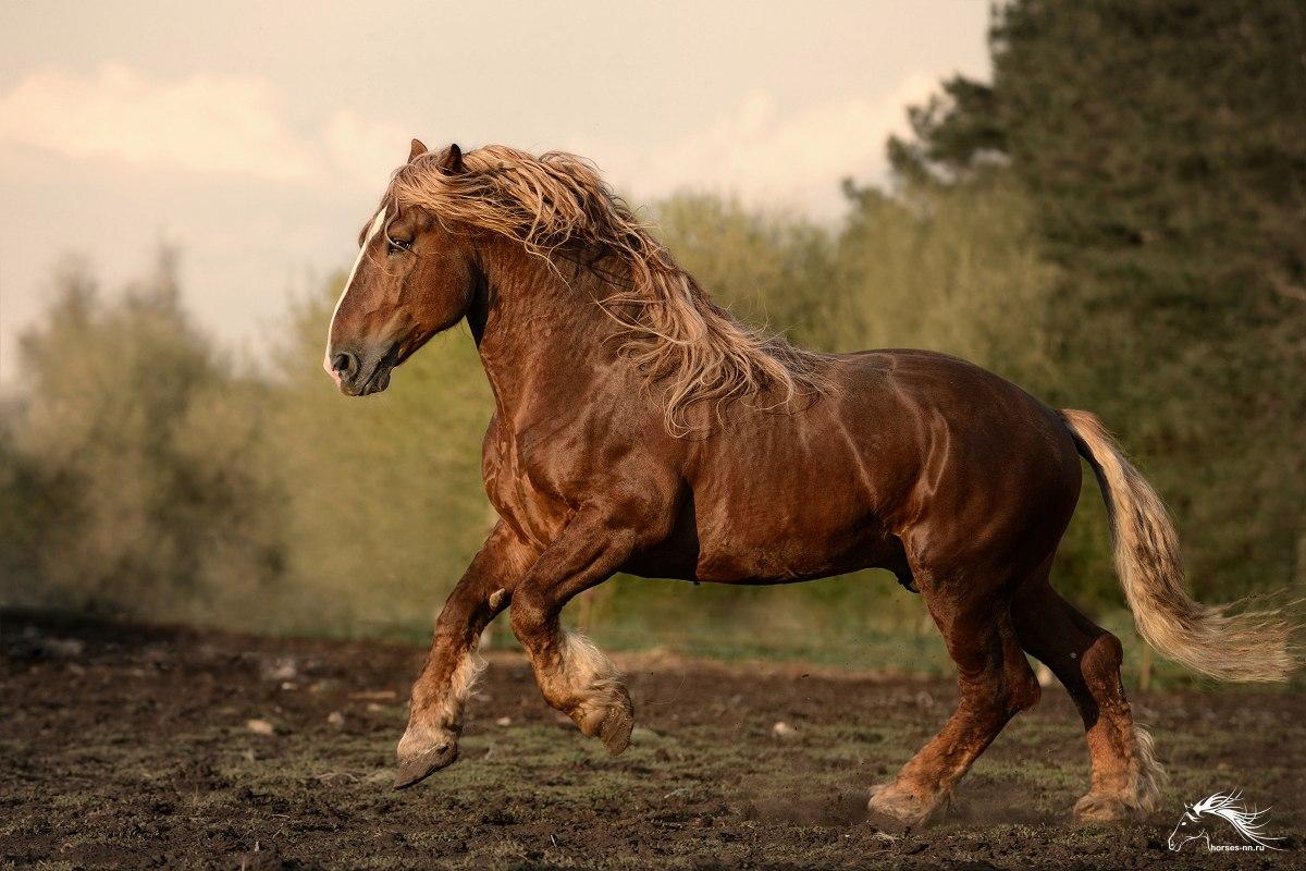 Все о породе лошадей — советский тяжеловоз