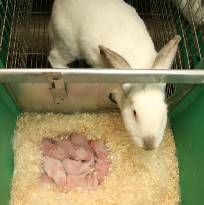 Суточные нормы кормления кроликов