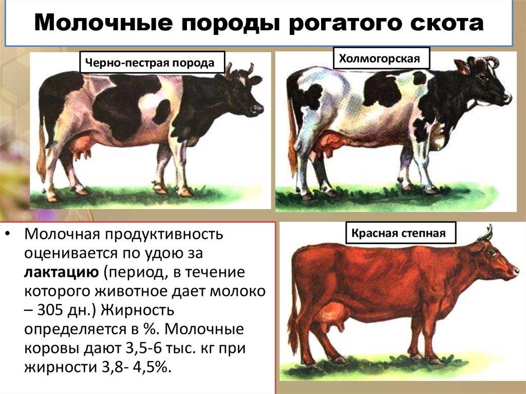 Русская комолая порода крс: описание и характеристики безрогих коров