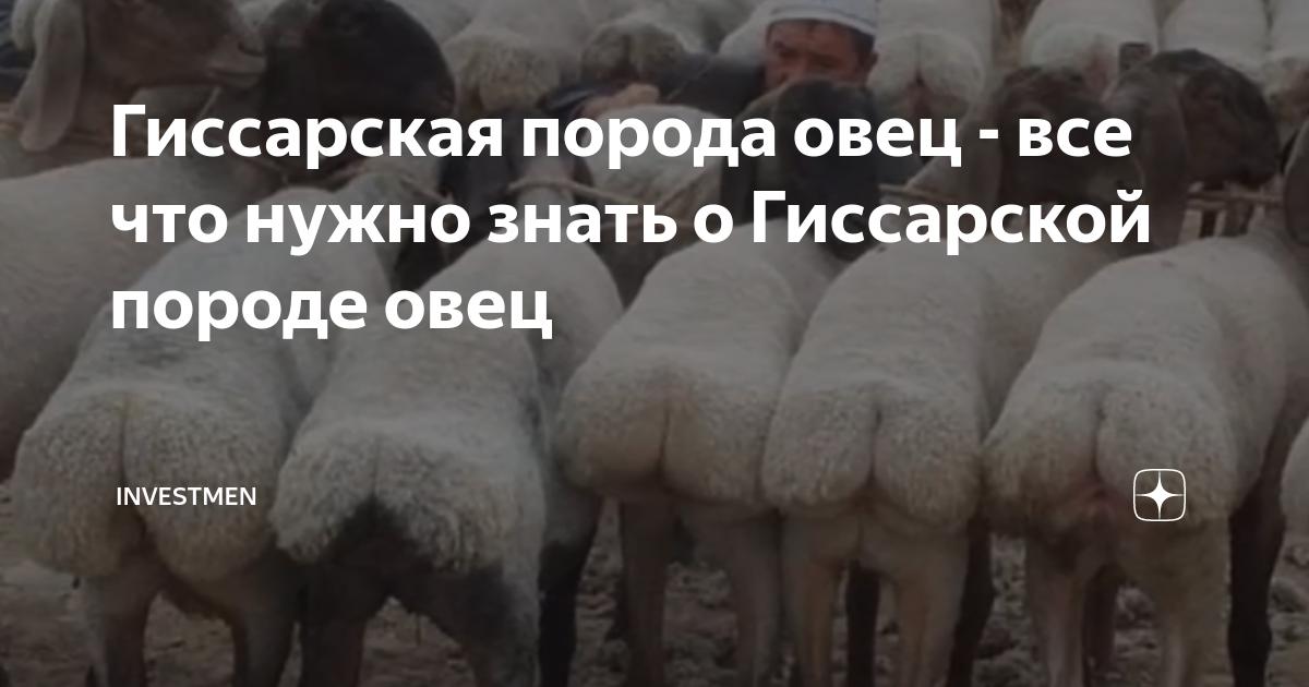 Породы овец: отличительные особенности, продуктивность, правила содержания