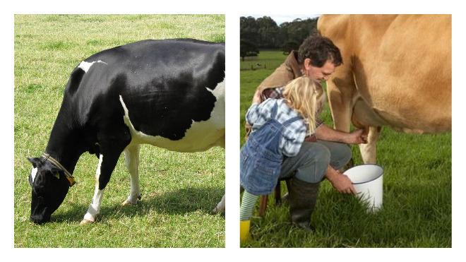 Как доить корову (дойка коров): как правильно, технология руками, доильным аппаратом
