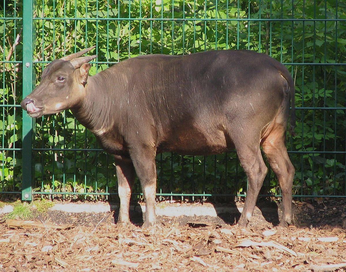 О самых маленьких (карликовых) буйволах: на сулавеси, аноа, кентусы