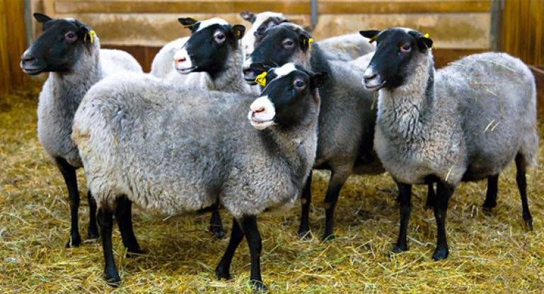Овцы романовской породы: описание, особенности содержания и разведения