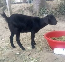 Отравление крс (овец, коз, коров): симптомы и лечение