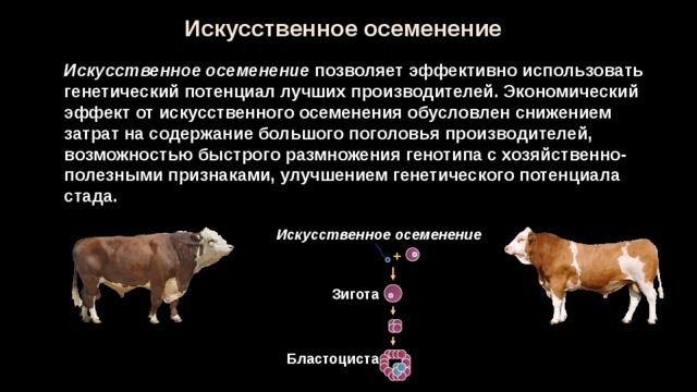 Процесс осеменения коров