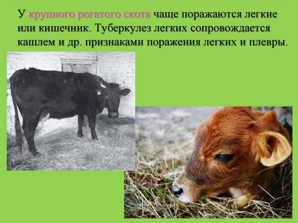 Выявление туберкулеза у коров, свиней, птиц и кошек, лечение, профилактика — стоптубик