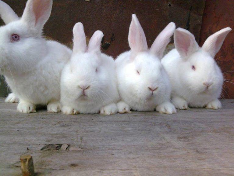 Новозеландский кролик: описание породы, содержание, разведение и фото