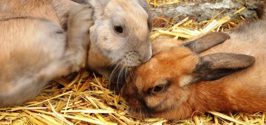 Как правильно кормить кроликов пшеницей?