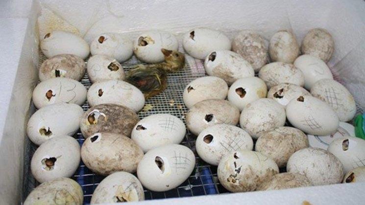 ✅ сколько гуси сидят на яйцах. как определить сроки вывода гусят, если выводит гусыня сама - cvetochki-ulyanovsk.ru