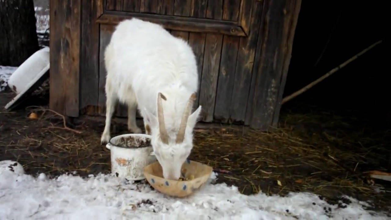Содержание коз - мясные и молочные породы и уход за ними в домашних условиях
