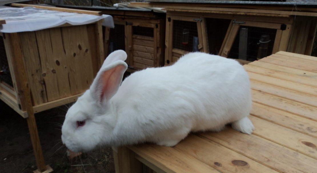 Кролик породы белый паннон: описание, характеристика, разведения и содержания в домашних условиях