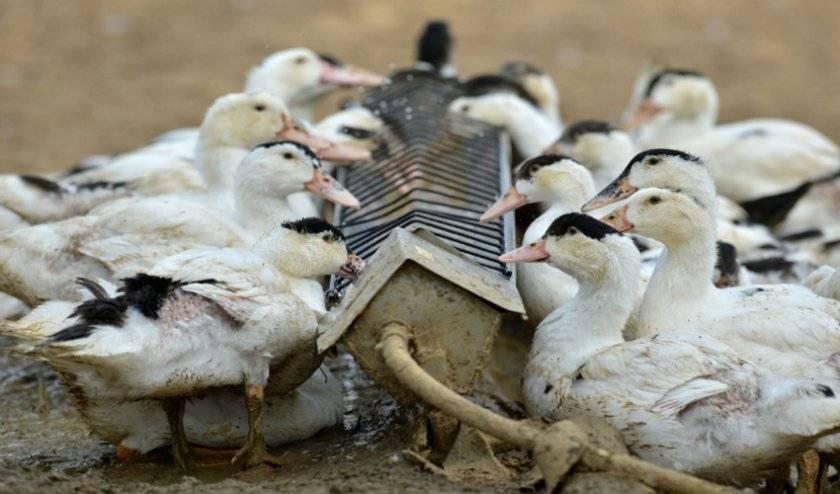 Утки щипают перья: причины и устранение | наши птички