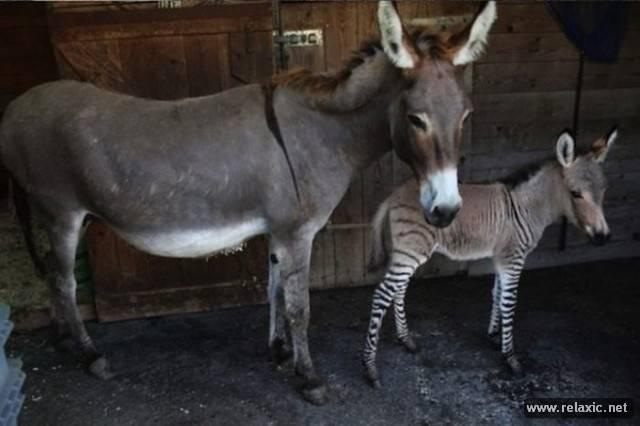 Размножение ослов и лошадей